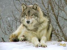 Papel de Parede Lobo na Neve