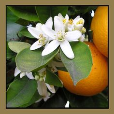 Orange Blossom - Orange Blossoms, the flowers of orange fruit trees, are attractive and inticingly aromatic. If you've ever been to Florida on a beautiful Spring day, you'll be reminded of the scent when you smell our Orange Blossom fragrance oil. Citrus Trees, Fruit Trees, Citrus Fruits, Orange Peel, Orange Juice, Orange Soda, Orange Color, Orange Farm, Sour Orange