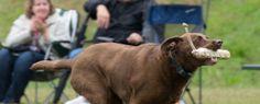 10 steps to prepare your retriever for the hunting season