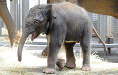 7 days old baby elephant