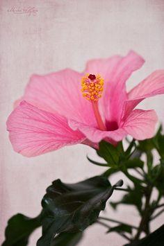 Hibiscus by Mirka Wolfova, via 500px