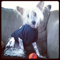 my new doggy! Willy the Chinese Crested. :)