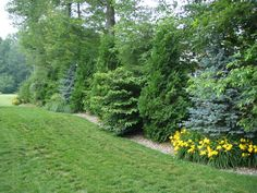Evergreen privacy screen hedges Ideas for 2019 Privacy Trees, Privacy Plants, Garden Privacy, Privacy Landscaping, Landscaping Images, Home Landscaping, Front Yard Landscaping, Privacy Hedge, Privacy Fences