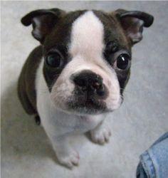Boston Terrier, cutest puppy in the world
