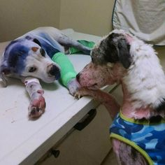 Simon the border collie comforts Sammie the pup before he is brought in for surgery. Shelter Dogs, Rescue Dogs, Animal Rescue, Shelters, Border Collie, Mon Combat, Game Mode, Animals And Pets, Cute Animals