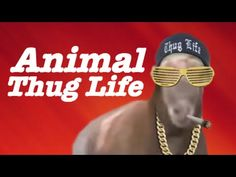 Animals living the unexpected thug life. They're bad and they know it. Animal Thug Life Compilation