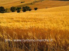 Cornfield in the wind, Marche - Italy