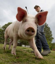 SPRUCE PINE — There was a little bit of hesitation in Steven Jackson when his son, Rhett, approached him about raising pigs as a project. Spruce Pine, Newspaper Article, 4 H, Pigs, Raising, Jackson, Animals, Animales, Animaux