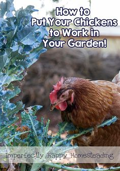 How to put your chickens to work in your garden. They can really help! | ImperfectlyHappy.com