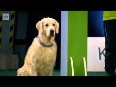 Tastefully Offensive: Golden Retriever Hilariously Fails Dog Obedience Competition