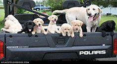 a truck load of cuties! (Labrador Retriever)