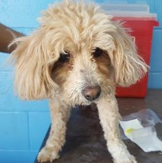 Animal ID\t35167440 \r\nSpecies\tDog \r\nBreed\tPoodle, Miniature\/Mix \r\nAge\t3 years  \r\nGender\tMale \r\nSize\tSmall \r\nColor\tApricot \r\nSite\tCity of El Paso, Animal Services \r\nLocation\tSally Port \r\nIntake Date\t4\/23\/2017 \r\n