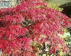 japanischer schlitzahorn rote bl tter pinterest japanische bodenbeschaffenheit und. Black Bedroom Furniture Sets. Home Design Ideas