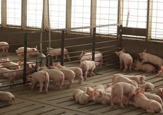#PrecisionLivestock Farming in #SwineWelfare: A Review for #Swine Practitioners, #RemoteMonitoring, machine learning #ML  Illustration Photo: Hog Farm (credits: United Soybean Board / Flickr Creative Commons Attribution 2.0 Generic (CC BY 2.0)) Introduction To Algorithms, Hog Farm, Papua Nova Guiné, Livestock Farming, Photo Illustration, Machine Learning, 30, Animals, Board