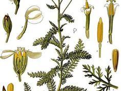 Abecedný zoznam byliniek | Zdravopedia Green Beans, Gardening, Vegetables, Plants, Lawn And Garden, Vegetable Recipes, Plant, Veggies, Planets