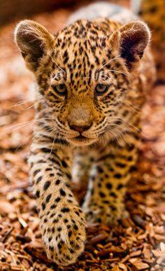 Leopards - the smallest members of the group of big cats, they are ahead of jaguars, lions and tigers, leopards average growth to shoulder about 70 centimeter Beautiful Cats, Animals Beautiful, Cute Baby Animals, Animals And Pets, Wild Animals, Big Cats, Cats And Kittens, Siamese Cats, Baby Leopard