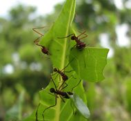 Leaf-cutter Ants from Central & South America are farmers, pharmacists and energy experts! (Video and article from the National Science Foundation attached.)