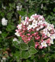 Viburnum/ Korean Spice | Pinelane NurseryA deciduous shrub that is ideal for spaces with only three or four feet of planting area. In spring it is covered with pinkish-white sweet-smelling flower clusters the size of grape fruits. The standard form of Korean Spice Viburnum is a nice selection as a landscape plant as it only grows five to six feet high with an equal spread. Its lusterless green foliage turns bright scarlet in mid autumn.