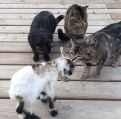 #goatvet likes this photo- Cats Inspect A Baby Goat, Decide She Isn't One Of Them...