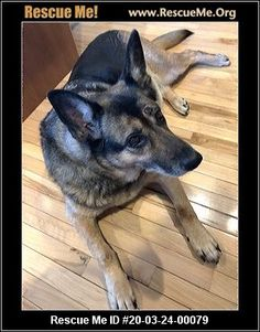 - Minnesota German Shepherd Rescue - ADOPTIONS - Rescue Me! Animal Adoption, Pet Adoption, German Shepherd Rescue, Post Animal, Minnesota, Corgi, Animals, Corgis, Animales