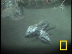 Exotic creatures lie at the bottom of Japan's Suruga Bay, including spider crabs, chimeras and lantern sharks.    See all National Geographic videos: http://video.nationalgeographic.com/video/?source=4001