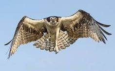 Image result for hawk front view