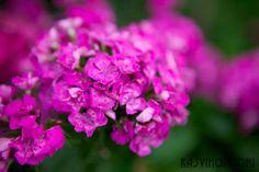 Harjaneilikka on helppo ja varma kaksivuotinen kasvi - Kasvihormoni | Lily.fi
