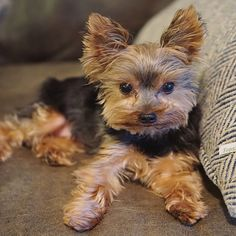 Loving and Caring Yorkie Puppies for sale | terrierpupsforhomes.com Monkeys For Sale, Morkie Puppies For Sale, Birds For Sale, Teacup Yorkie, Puppy Names, Shih Tzu Puppy, Trainers, Quotes, Recipes