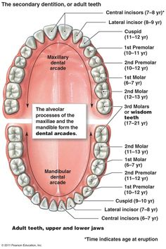 20 best dental images on pinterest dental teeth and dental hygiene diagram human teeth37117g 7191080 ccuart Image collections