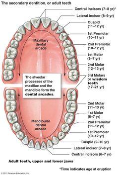 26 best teeth anatomy images on pinterest dental care dental diagram human teeth37117g 7191080 ccuart Gallery