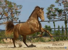 bay double pearl - Pure Spanish Horse stallion Ismaeli