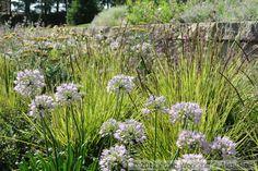 Sesleria autumnalis, Allium Summer Beauty.  Adam Woodruff, garden designer.