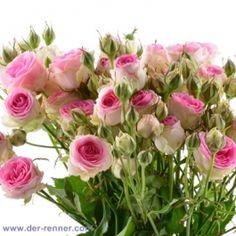 Polyantha Rose - Mimi Eden - 10 Stück