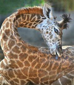 Amazing Wild Animal Pictures – 40 Pics Wild Animals Photos Mikali, a Masai giraffe, tries to lick a hard-to-reach spot. Vida Animal, Mundo Animal, Giraffe Pictures, Animal Pictures, Beautiful Creatures, Animals Beautiful, Masai Giraffe, Steam Powered Giraffe, Okapi