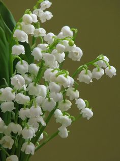 lily of the valley. So fragrant. One of my favorite parts of spring. I usually smell them before I see them.
