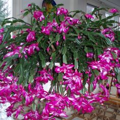 Christmas cactus. My Grannie's plant would always be in full bloom at Christmas time.