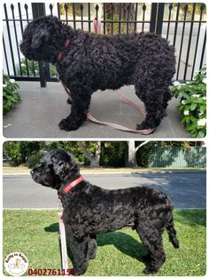 This boy's name is Leroy🐻  He is an 11 years young Portuguese Water Dog🐕!  I can easily call him a sweetheart🌺❤️ because of his excellent behaviour during his entire grooming session and for his very sweet🍨 and soft nature🍀. When I finished grooming Leroy, he took his collar and lead and gave them to me letting me know that it was time⌚ for a walk☺️ Smart boy🤗🤗🤗 Thank you Mark and thank you Leroy for visiting Ratty to Regal this morning🌞 See you boys next time👍 Ratty to Regal…