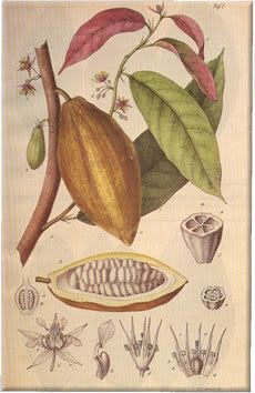 Chocolate (Theobroma Cacao) Botanical Illustration -- 's hard to do a botanical illustration without the subject being close up, but I'll post my drawing, if it happens. However, in the interim, I thought I'd post a few well known botanical illustrations of the Theobroma Cacao Plant.