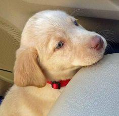 Koda Bear the Labrador Retriever puppy - sweet #labradorretriever
