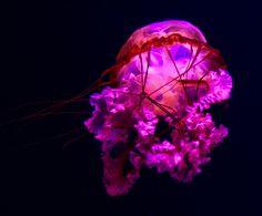 Light of the jellyfish