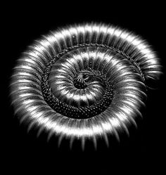 A millipede curled for protection - a natural spiral shape. I got to pet one on a walk in the bush in SAfrica Fractal Geometry, Fractal Art, Sacred Geometry, Fractals In Nature, Spirals In Nature, Nature Nature, Shape Pictures, Sculpture Metal, Fibonacci Spiral