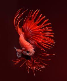 Фотография Fire Dragon автор visarute angkatavanich на 500px