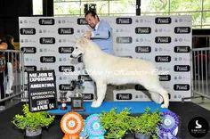 Cinofilia Sudamericana Dogs, Animals, Exhibitions, Animales, Animaux, Doggies, Animais, Dog, Animal
