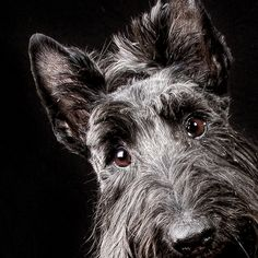 scottie dog-love those big brown eyes! Pitbull Terrier, Terrier Dogs, Bull Terriers, Baby Dogs, Dogs And Puppies, I Love Dogs, Cute Dogs, Beautiful Dogs, Doge