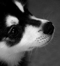 Alaskan Klee Kai (a mini malamute) Alaskan Klee Kai, Alaskan Husky, Mini Huskies, Chihuahua Love, Dog Travel, New Puppy, Doge, Dog Life, Best Dogs