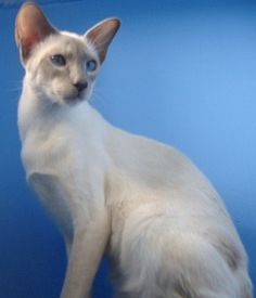 Lilac Point Siamese cats are one of the more popular colours of Siamese cat. Read the breed profile and enjoy the lilac point Siamese pictures.