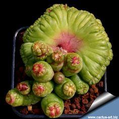 "Mammillaria  bocasana ""FRED"" forma cristata"
