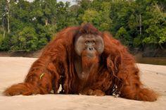 orangutan, endangered species, palm oil, deforestation, Indonesia, Malaysia, rainforest