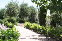 Gravel paths and drought tolerant plantings of english box, pencil pines, olive trees with low rosemary hedges. Blairgowrie house.  www.marktraversla.com