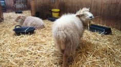 Quessant Sheep at Knighton Small Breeds Farm and Owl Centre, Herefordshire uk. Smallest sheep breed in the world.